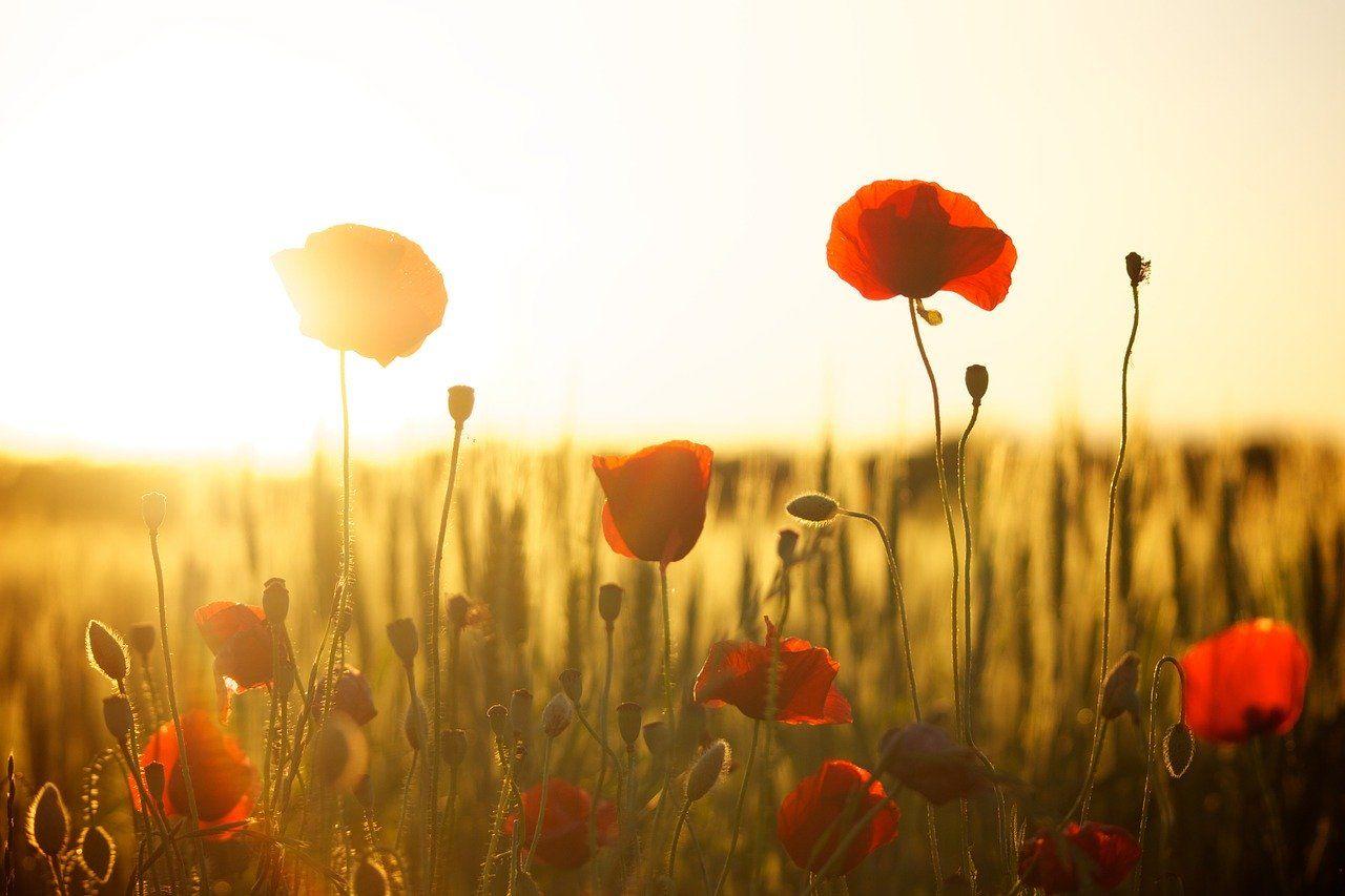 Hoa tát nhật lãng là hoa gì?